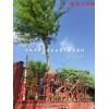 安徽肥西精品 三角枫 供应商 13515652012