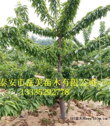 供应早结果矮化吉塞拉砧木樱桃树苗 3年挂果樱桃树苗