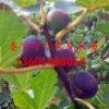 日本紫果无花果苗品种介绍日本紫果无花果树苗新报价