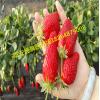 哪里有大棚草莓苗 哪里有大棚草莓苗新品种 大棚草莓苗