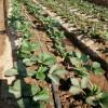 大棚草莓苗供应品种  根系发达 章姬草莓苗