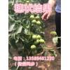 矮化核桃苗一亩地栽植多少株核桃树