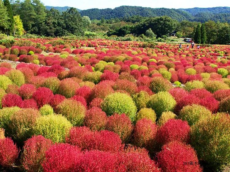 野花组合 红叶地肤 绿地肤种子 沙漠景观 花海种子图片