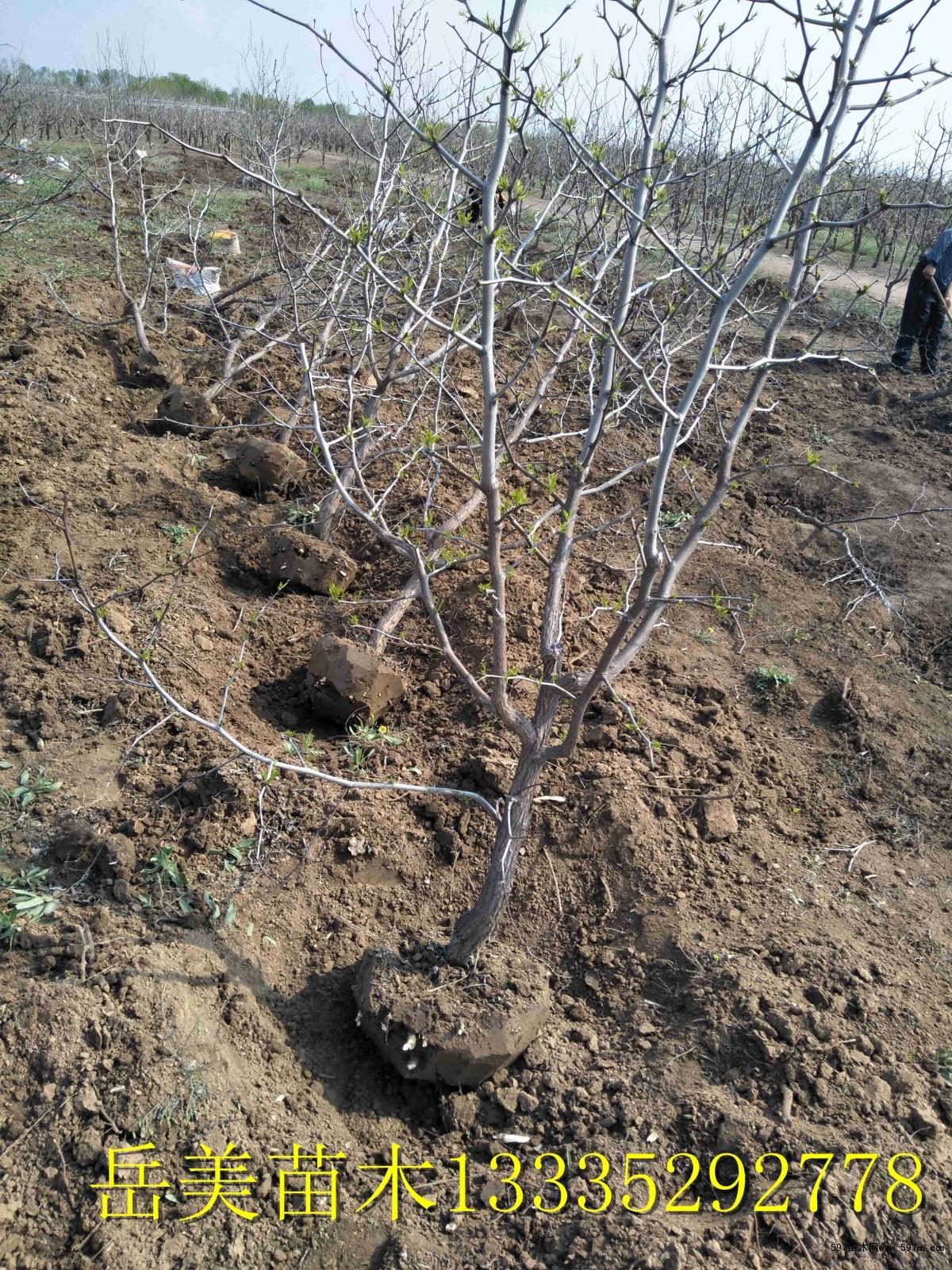 8公分枣树苗报价 果树小苗 绿化