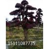 批发造型景观树广西造型红继木利博娱乐 18一20公分云南造型榆树