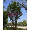 福建朴树大型生产基地 福建造型丛生朴树市场