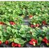 红颜草莓苗批发