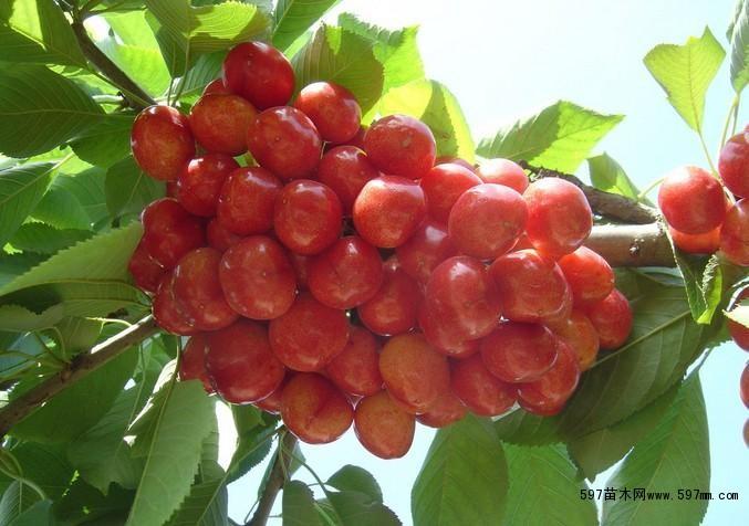 先锋樱桃树苗|果树小苗|绿化苗木|供应信息|597苗木网