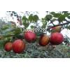早酥红梨 早酥红梨苗批发种植基地