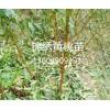 锦绣黄桃 锦绣黄桃苗木种植基地
