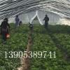 北方章姬草莓苗批发价格,北方甜查理草莓苗繁育基地