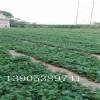 章姬草莓苗批发价格,甜宝草莓苗经济效益、甜宝草莓苗