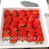 山东丰香草莓苗怎样栽培,山东丰香草莓苗哪里有卖多少钱