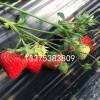 红颜草莓苗种苗简介