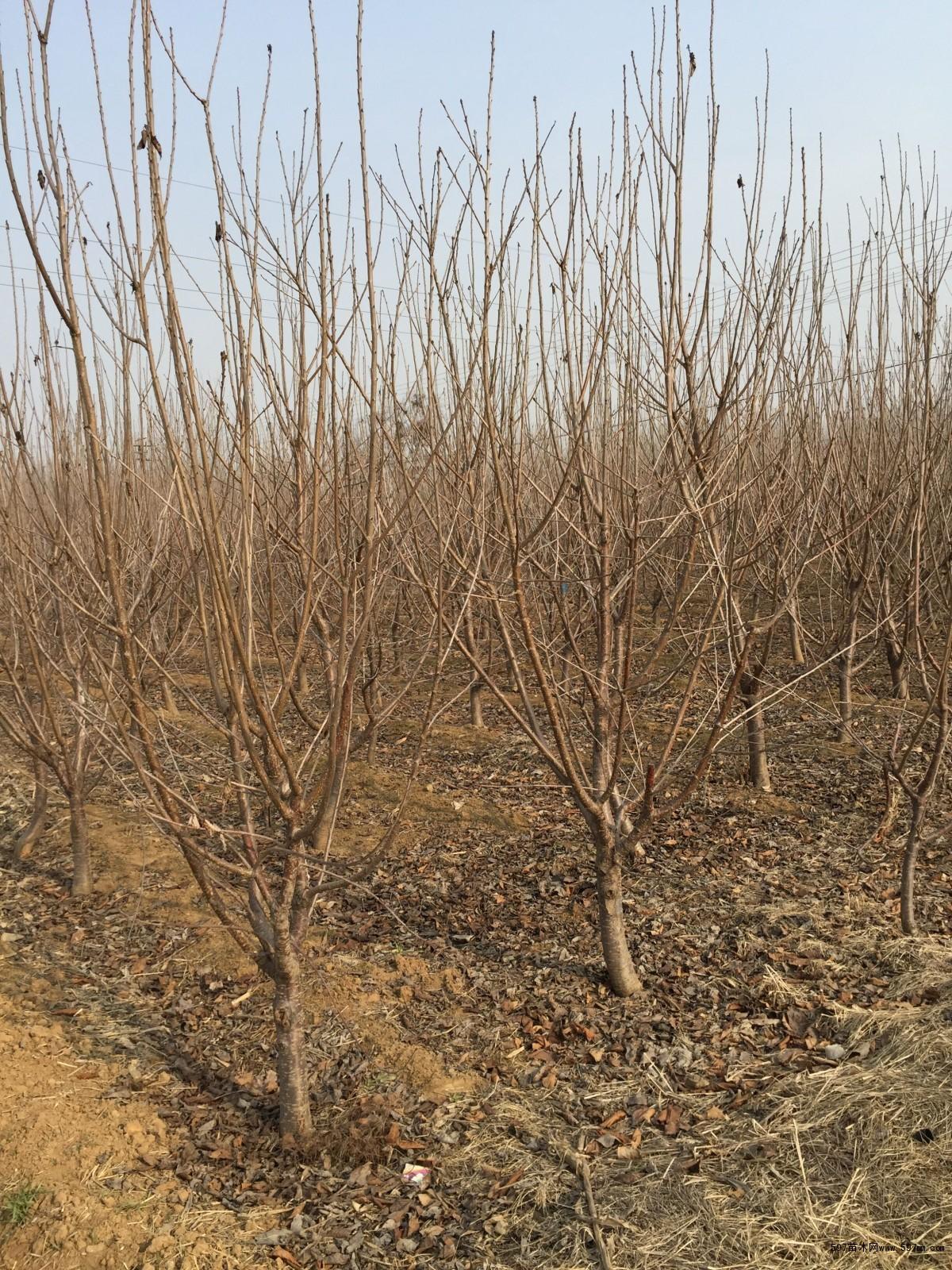 樱桃苗 5公分大樱桃树树苗价格多少图片