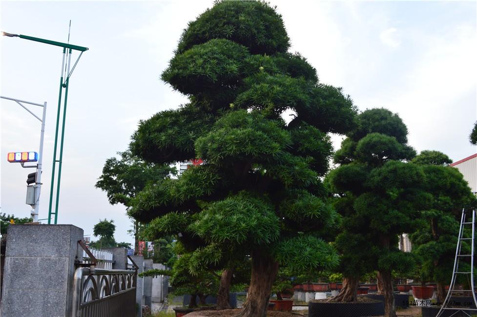 大陆罗汉松,橄榄树,九里香,红豆杉,竹柏,桂花等名贵树木,公司以优质的