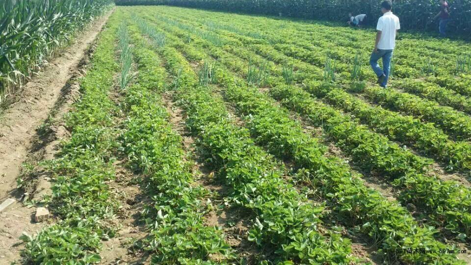 填补了北方地区冬季新鲜水果的空白.甜查理草莓苗很少有病害发生,