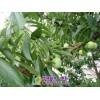 李子树苗的培育 李子树苗的培育方法