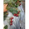 山东泰安草莓苗基地 出售各种草莓苗 优质草莓苗 品种齐全