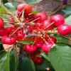 现在最好的樱桃苗品种有哪些,种植哪种樱桃苗前景好