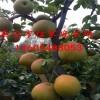梨树苗基地、山东优质品种梨树苗种植基地