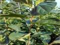 牛心柿子苗
