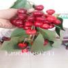 8公分7公分6公分樱桃树多少钱一棵、吉塞拉樱桃树苗价格