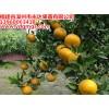 茂谷柑苗一株多少钱,茂谷柑苗价格,出售正宗的茂谷柑果树苗