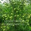 5公分枣树价格、5公分枣树批发、5公分枣树苗哪里有