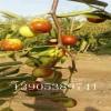梨枣苗价格、梨枣树苗哪里有、5、6、7公分梨枣树多少钱
