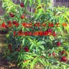 明月油蟠桃树苗 明月油蟠桃树苗品种介绍