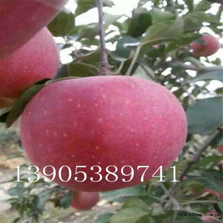 2公分烟富3号苹果树苗出售,二公分烟富8号苹果树价格