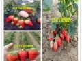牛奶草莓苗