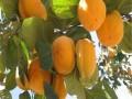 牛心柿子苗产地
