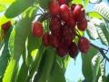 红灯笼樱桃苗