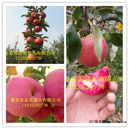 全明星等优质草莓苗品种(量特别大,购多优惠) 大量供苹果树苗;短枝红