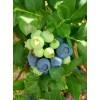 供应1--2年 蓝丰蓝莓苗