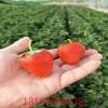 新优草莓苗批发 二代草莓苗种苗