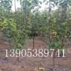 2公分玉露香梨树苗出售厂家、二公分玉露香梨树哪里便宜
