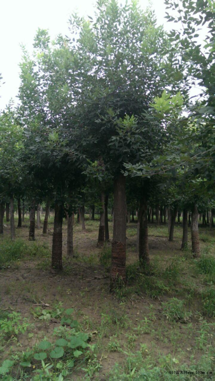 国槐装运时,不得损伤。裸根苗木必须当天种植。裸树苗木自起苗开始暴露时间不宜超过八小时。当天不能种植的苗木应进行假植。带土球小型花灌木运至施工现场后,应紧密排码整齐,当日不能种植时,应喷水保持土球湿润。种植穴和土球直径在非正常季节种植苗木时,土球大小以及种植穴尺寸必须要达到并尽可能超过标准的要求。对含有建筑垃圾,有害物质均必须放大树穴,清除废土换上种植土,并及时填好回填土。在土层干燥地区应于种植前浸穴。挖穴、槽后,应施入腐熟的有机肥作为基肥。种植前修剪非正常季节的苗木种植前修剪应加大修剪量,减少叶面呼吸和蒸