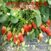 妙香七號草莓苗多少錢一棵 妙香草莓苗基地