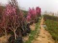绿化苗 红叶碧桃供应