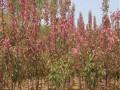 绿化苗 北美海棠供应