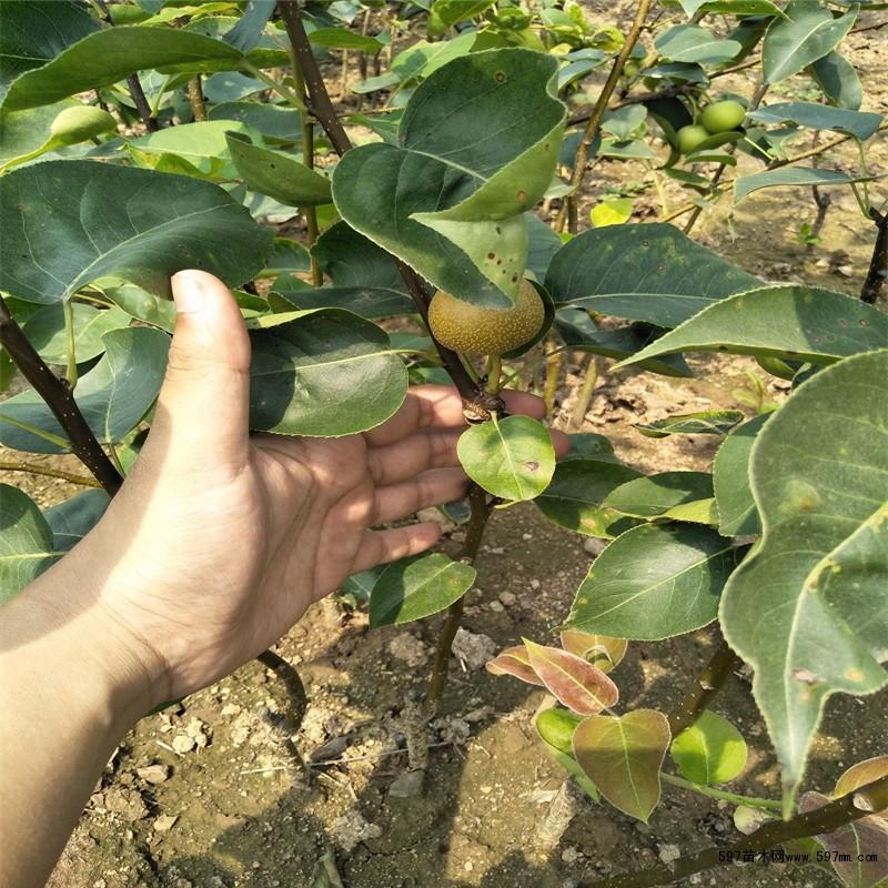 黄金梨苗 黄金梨树苗价格 1公分梨树苗