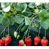 草莓苗新品种-大量供应草莓苗-草莓苗批发
