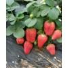 甜查理草莓苗批发-优质种苗-泰安绿满堂