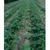 草莓苗种植  草莓苗价格--草莓苗量大从优