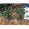 江西茶梅扦插苗,南昌茶梅容器苗江西省南昌市哪里有色块苗茶梅卖