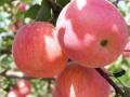 3公分苹果树批发