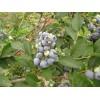 优质蓝莓苗基地在哪?